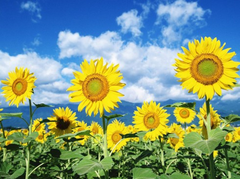Sun Flower Wallpapers 1